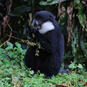 10 day itinerary uganda, 10 day uganda itinerary, 10 day uganda safari, chimpanzee trekking kibale, chimpanzee tracking kibale uganda, chimp trekking kibale uganda, uganda red colobus monkey, kibale forest national park, uganda L'hoest monkey