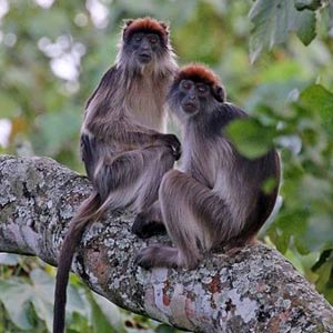 3 days chimpanzee trekking kibale, 3 days chimpanzee tracking kibale uganda, chimp trekking kibale uganda, uganda red colobus monkey, kibale forest national park