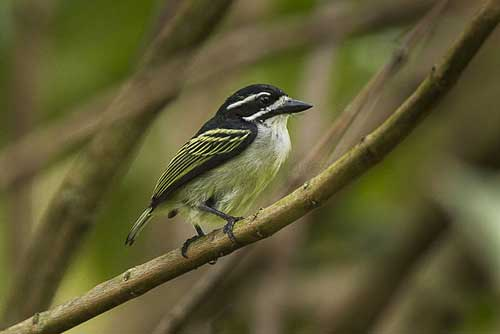 Yellow-rumped tinkerbird, birds in kibale national park, uganda small group tours, uganda group tours, tour packages in uganda