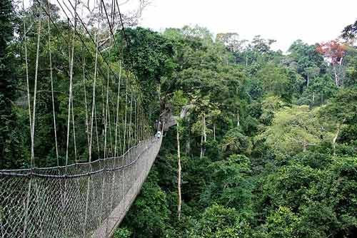 nyungwe canopy walk, nyungwe forest canopy bridge, nyungwe forest, rwanda canopy walk, Chimpanzee tracking Rwanda, Nyungwe forest chimps, chimpanzee trekking Rwanda, nyungwe national park, Gorilla trekking rwanda, gorilla tracking rwanda, rwanda gorilla trekking, rwanda gorilla tracking, gorilla safaris, best rwanda gorilla tours, gorilla trek rwanda, gorilla trekking tours, gorilla trek rwanda volcanoes national park