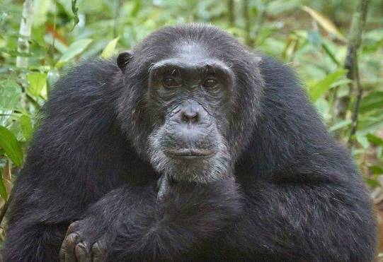 uganda small group tours, uganda group tours, chimpanzee tracking kibale, chimpanzee tracking uganda, kibale chimps