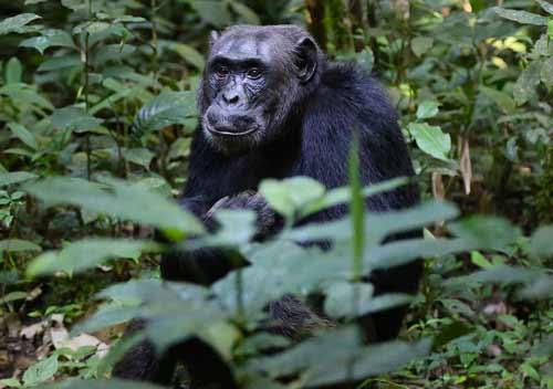 10 day rwanda itinerary, 10 day rwanda tour, Chimpanzee tracking Rwanda, Nyungwe forest chimps, chimpanzee trekking Rwanda, nyungwe national park, Gorilla trekking rwanda, gorilla tracking rwanda, rwanda gorilla trekking, rwanda gorilla tracking, gorilla safaris, best rwanda gorilla tours, gorilla trek rwanda, gorilla trekking tours, gorilla trek rwanda volcanoes national park