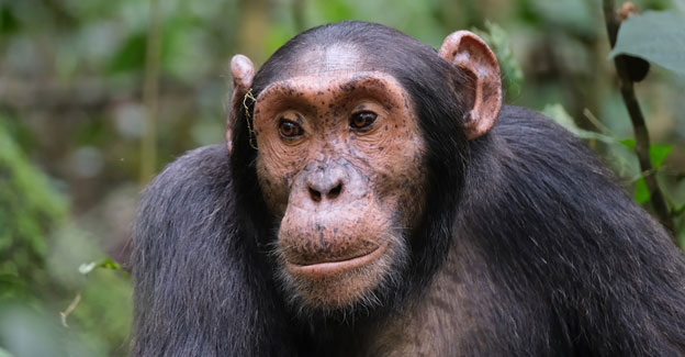 rwanda chimpanzee trekking, rwanda canopy walk, gorilla and chimpanzee trekking rwanda, gorilla and chimp trek rwanda, rwanda primate tracking