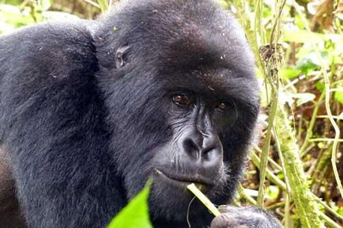 10 day rwanda itinerary, 10 day rwanda tour, Gorilla trekking rwanda, gorilla tracking rwanda, rwanda gorilla trekking, rwanda gorilla tracking, gorilla safaris, best rwanda gorilla tours, gorilla trek rwanda, gorilla trekking tours, gorilla trek rwanda volcanoes national park