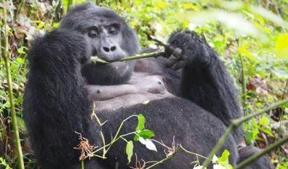 uganda small group tours, uganda group tours, Gorilla trekking bwindi, gorilla trekking uganda, gorilla tracking uganda