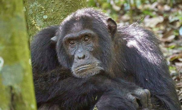 Uganda chimpanzee trekking, chimpanzee tracking, uganda chimps, 12 days uganda tour, 12 days uganda safari, uganda wildlife safari, uganda chimpanzee safari, gorilla and chimpanzee trekking uganda, gorilla trekking bwindi, chimpanzee trekking kibale, 12 days gorilla and chimpanzee trekking