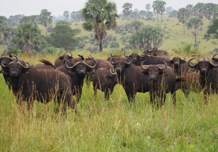 kidepo national park animals, kidepo national park activities, kidepo national park buffalo herd, kidepo national park tours