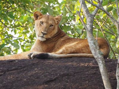 kidepo national park animals, kidepo national park activities, kidepo national park lions, kidepo national park tours