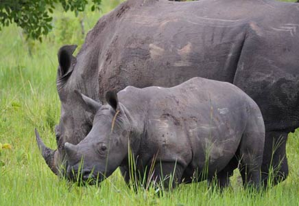 uganda rhinos, kidepo national park and murchison falls tour, ziwa rhino sanctuary