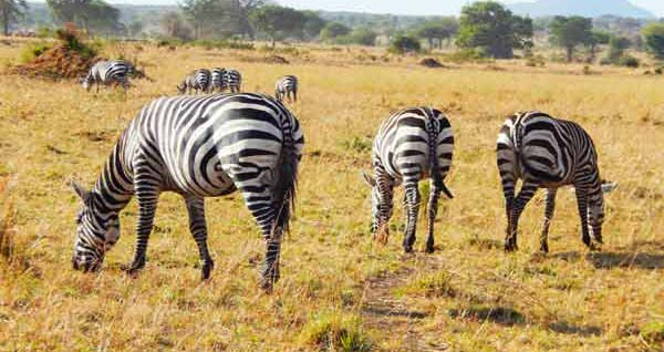 3 days Lake Mburo safari, lake mburo national park wildlife, lake mburo national park zebras, ugandan zebras