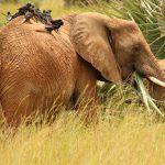 3 days murchison falls safari, uganda lions, uganda big five animals safaris murchison falls national park big five safaris, Uganda Rhino safaris, Uganda adventure safaris, ziwa rhino sanctuary, murchison falls national park safari, 3 day murchison falls, uganda giraffe, murchison falls, uganda elephants, uganda big five animals