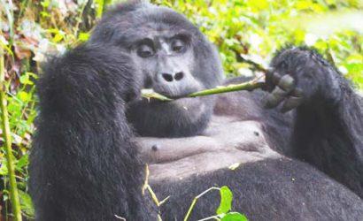 gorilla and chimpanzee trekking uganda, gorilla and chimpanzee safari, gorilla and chimpanzee tour, uganda primate safaris, uganda primate tours, trek gorilla tours, trek gorilla safaris, gorilla and wildlife tours, gorilla tracking tours, gorilla watching safari, budget gorilla tours, best gorilla trekking company, bird watching safaris uganda, 5 days Gorilla primate & Birding Safari, 5 days Gorilla trek Uganda, Chimpanzee tracking safaris, Gorilla trekking tours uganda, gorilla treks uganda, gorilla tracking in uganda, explore gorilla and chimpanzee