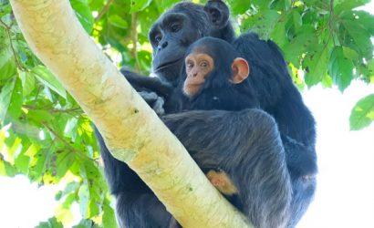chimpanzee tracking uganda, uganda chimps, chimpanzee trekking, chimpanzee tours, chimpanzee safaris, 4 days uganda safari, 4 day gorilla and chimpanzee safari, 4 days primate safari