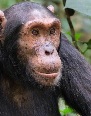 chimpanzee tracking uganda, uganda chimps, chimpanzee trekking, chimpanzee tours, chimpanzee safaris