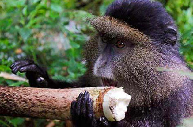 golden monkey trekking in Uganda, 3 days golden monkey trekking, golden monkey habituation in uganda, 3 days, mgahinga national park, golden monkey trekking uganda, gorilla trekking uganda, mgahinga gorilla park, mgahinga national park