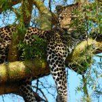 3 days murchison falls safari, uganda lions, uganda big five animals safaris murchison falls national park big five safaris, Uganda Rhino safaris, Uganda adventure safaris, ziwa rhino sanctuary, murchison falls national park safari, 3 day murchison falls, uganda giraffe, murchison falls, uganda elephants, uganda big five animals, uganda leopard
