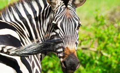 3 days lake mburo national park safari, lake mburo zebras, uganda zebras