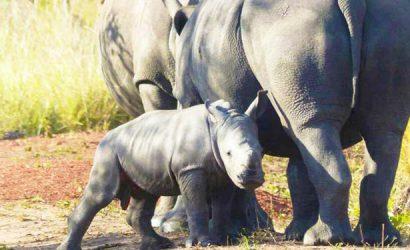 4 days murchison falls safari, chimpanzee trekking budongo, uganda lions, uganda big five animals safaris murchison falls national park big five safaris, Uganda Rhino safaris, Uganda adventure safaris, ziwa rhino sanctuary