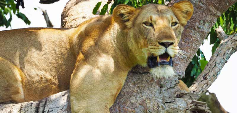 3 days queen elizabeth national park safari, queen elizabeth safari,lions tours in queen elizabeth, Big five ugandan tours, queen elizabeth national park tours, uganda tree climbing lions