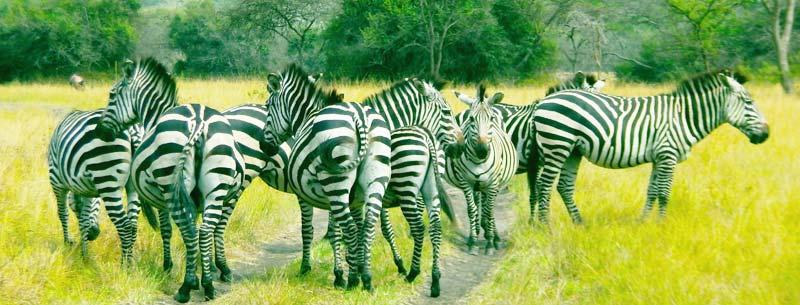1 day lake mburo tour, 1 day lake mburo safari, 1 day lake mburo, lake mburo 1 day safari, 1 day lake mburo national park tour, lake mburo national park wildlife, lake mburo national park hippos, ugandan zebras
