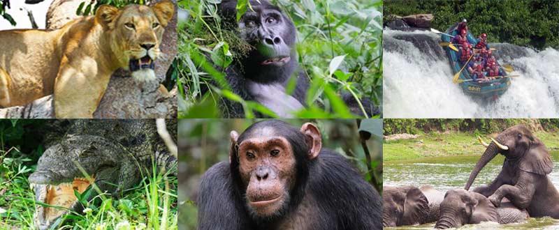 uganda gorilla safari, gorilla trekking uganda uganda chimpanzee safari, gorilla and chimpanzee trekking uganda, gorilla trekking bwindi, tree climbing lions, queen elizabeth national park, Uganda chimpanzee trekking, kazinga channel tour, chimpanzee tracking, uganda chimps, 12 days uganda tour, 12 days uganda safari, 12 days gorilla trekking, 12 days gorilla and chimpanzee trekking, 12 days wildlife uganda