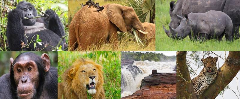 uganda gorilla safari, gorilla trekking uganda, uganda chimpanzee safari, 7 days uganda safari gorillas and wildlife, gorilla and chimpanzee trekking uganda, gorilla trekking bwindi, tree climbing lions, queen elizabeth national park, Uganda chimpanzee trekking, kazinga channel tour, chimpanzee tracking, uganda chimps, 7 days uganda tour, 7 days uganda safari, murchison falls national park, top of the falls view, boat cruise on river nile, 7 day uganda itinerary, 7 day uganda tour itinerary, uganda hippos, uganda elephants, uganda wildlife safari, chimpanzee trekking kibale, ziwa rhino sanctuary