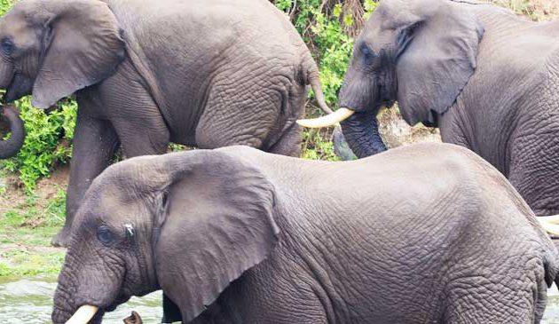 8 days uganda safari, 8 days uganda tour, uganda hippos, queen elizabeth national park animals, kazinga channel animals, kazinga channel uganda
