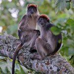 lhoest monkey uganda, chimpanzee trekking uganda, 8 days uganda safari, 8 days wildlife safari, 9 days uganda safari, 9 days uganda tour, 10 days uganda safari, 10 days uganda tour