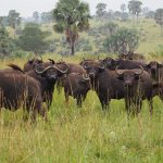buffalos in kidepo, uganda gorilla safari, gorilla trekking uganda uganda chimpanzee safari, gorilla and chimpanzee trekking uganda, gorilla trekking bwindi, tree climbing lions, queen elizabeth national park, Uganda chimpanzee trekking, kazinga channel tour, chimpanzee tracking, uganda chimps, 24 days uganda tour, 24 days uganda safari, murchison falls national park, top of the falls view, boat cruise on river nile, uganda hippos, uganda elephants, uganda wildlife safari, chimpanzee trekking kibale, ziwa rhino sanctuary, uganda wildlife tour, long uganda tours, long uganda safari, uganda group tours