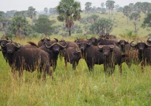 kidepo national park tour, kidepo national park animals, kidepo national park activities, kidepo national park buffalo herd, kidepo national park tours