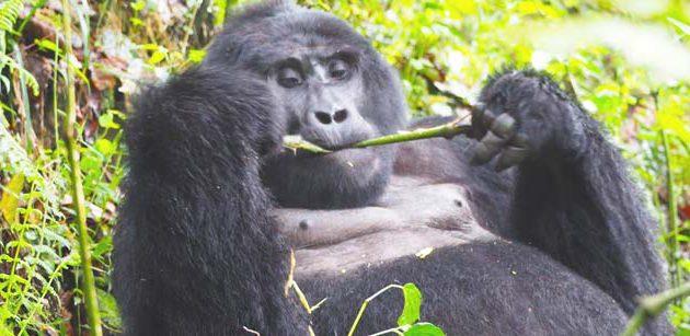 nyungwe canopy walk tour, uganda rwanda tour, uganda rwanda safari tours, nyungwe tea plantation tour, kigali to bwindi gorilla trekking, uganda gorilla trekking from rwanda, uganda gorilla tracking from rwanda,