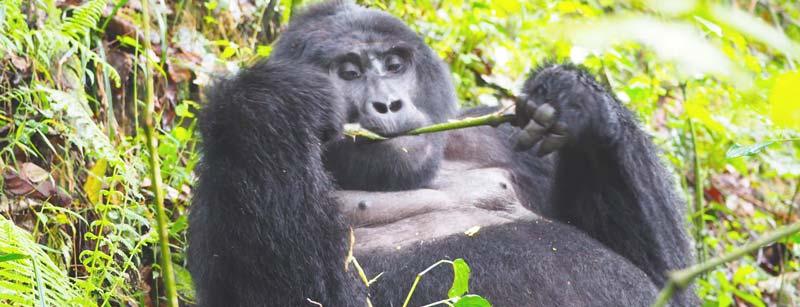 3 day gorilla trekking rwanda, 3 days gorilla trekking rwanda, 3 days rwanda gorilla safari, Gorilla trekking rwanda, gorilla tracking rwanda, rwanda gorilla trekking, rwanda gorilla tracking, gorilla safaris, best rwanda gorilla tours, gorilla trek rwanda, gorilla trekking tours, gorilla trek rwanda volcanoes national park