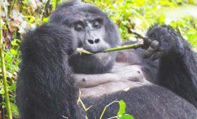 Gorilla trekking Safaris, f&m adventure safari, gorilla and adventure safaris