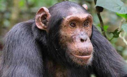 rwanda tours 7 days, 7 days rwanda, rwanda gorillas, gorilla trekking rwanda, 7 days rwanda safari, 7 days in rwanda, 7 day rwanda, 7 days rwanda gorillas, 7 days rwanda wildlife, Nyungwe canopy, 3 days nyungwe tour, 3 days nyungwe safari, 3 days nyungwe national park safari