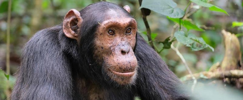 3 days nyungwe chimpanzee trekking rwanda, 3 days nyungwe tour, 3 days nyungwe safari, chimpanzee in nyungwe, kibale forest national park
