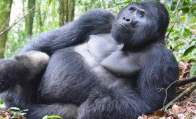 uganda gorilla permit, uganda gorilla permit december, uganda gorilla permit 2018, gorilla trekking permit uganda, 2018 uganda gorilla permit, how to book gorilla permit in uganda, book gorilla permits in uganda, 2020 gorilla permits, 2021 gorilla permits, 2022 gorilla permits, uganda gorilla trekking permit, uganda gorilla permit, book uganda gorilla permit, uganda gorilla trekking permit cost, bwindi forest national park, bwindi national park, gorilla trekking safaris, gorilla trekking tours, gorilla trekking uganda, gorilla trekking rwanda, gorilla trekking uganda safari, gorilla trekking rwanda safari, gorilla tours