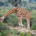 uganda gorilla safari, gorilla trekking uganda uganda chimpanzee safari, gorilla and chimpanzee trekking uganda, gorilla trekking bwindi, tree climbing lions, queen elizabeth national park, Uganda chimpanzee trekking, kazinga channel tour, chimpanzee tracking, uganda chimps, 24 days uganda tour, 24 days uganda safari, murchison falls national park, top of the falls view, boat cruise on river nile, uganda hippos, uganda elephants, uganda wildlife safari, chimpanzee trekking kibale, ziwa rhino sanctuary, uganda wildlife tour, long uganda tours, long uganda safari, uganda group tours