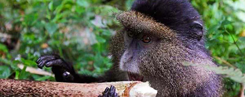golden monkey trekking, golden monkey tours, golden monkeys, golden monkey habituation