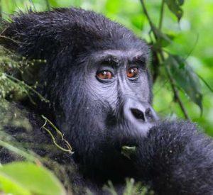 gorilla trekking, 1 day gorilla trek rwanda, 1 day gorilla trekking rwanda, Gorilla trekking rwanda, gorilla tracking rwanda, rwanda gorilla trekking, rwanda gorilla tracking, gorilla safaris, best rwanda gorilla tours, gorilla trek rwanda, gorilla trekking tours, gorilla trek rwanda volcanoes national park, 1 day gorilla tour rwanda, 1 day rwanda gorilla trek, uganda rwanda combined