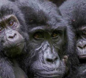 mgahinga gorilla national park, mountain gorillas