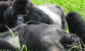 mountain gorillas faq, gorilla trekking faq