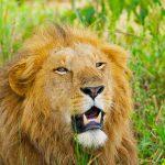 lion in kidepo, kidepo lions, kidepo tours, uganda gorilla safari, gorilla trekking uganda uganda chimpanzee safari, gorilla and chimpanzee trekking uganda, gorilla trekking bwindi, tree climbing lions, queen elizabeth national park, Uganda chimpanzee trekking, kazinga channel tour, chimpanzee tracking, uganda chimps, 24 days uganda tour, 24 days uganda safari, murchison falls national park, top of the falls view, boat cruise on river nile, uganda hippos, uganda elephants, uganda wildlife safari, chimpanzee trekking kibale, ziwa rhino sanctuary, uganda wildlife tour, long uganda tours, long uganda safari, uganda group tours