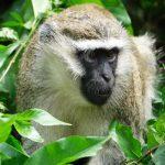 10 days uganda safari, 10 days uganda tour, primates in kibale, bigodi swamp, primates of kibale