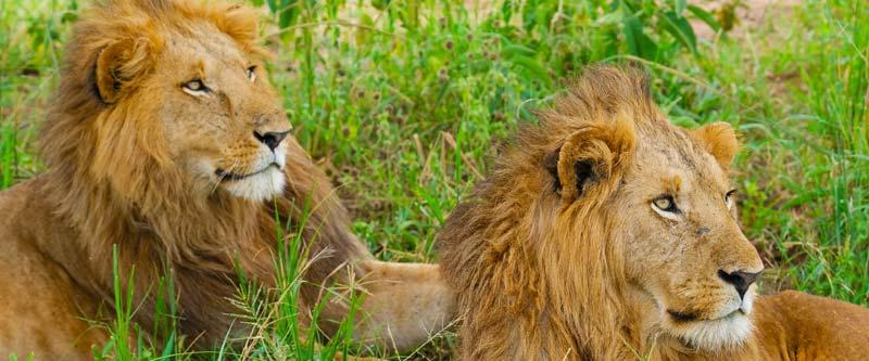 5 days uganda tour, 5 days uganda safari, uganda hippos, uganda elephants, uganda wildlife safari, big four tour uganda, tree climbing lions , uganda lionsuganda, gorilla trekking bwindi, 5 days gorilla and wildlife tour