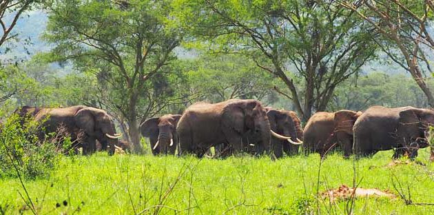 9 days uganda safari, 9 days uganda tour, giraffes in lake mburo, uganda giraffes, lake mburo tours, uganda elephants
