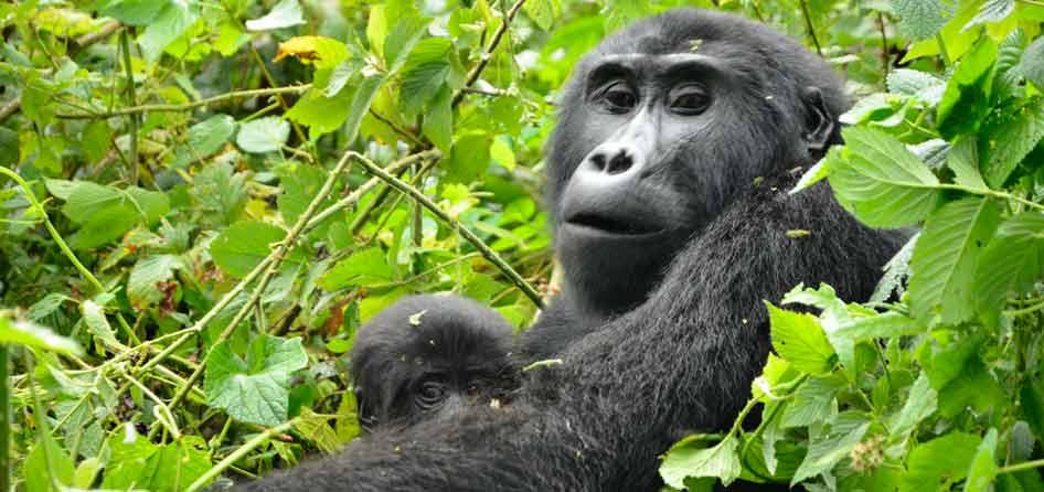 uganda gorilla safari, gorilla trekking uganda, Uganda 10 day tour, gorilla and chimpanzee trekking uganda, gorilla trekking bwindi, 10 day uganda itinerary, 10 day itinerary Uganda, 10 day uganda safari